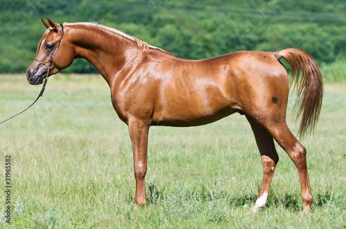 Fototapeta red Russian arabian stallion portrait in summer obraz