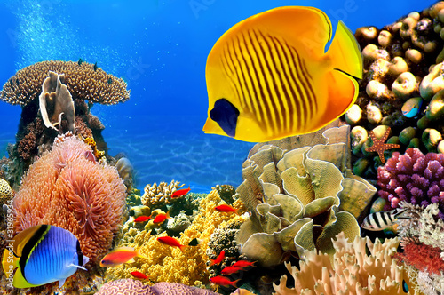 Poster Sous-marin Photo of a coral colony, Red Sea, Egypt