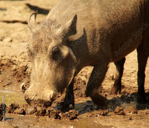Photo  Warzenschwein