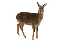 Young Deer Isolated On White Background