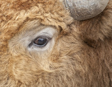 Cow Eye Macro Shot