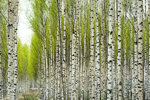 Door stickers Birch Grove Birch trees in spring