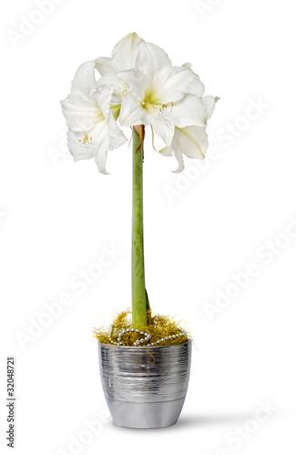 White amaryllis in pot Canvas Print