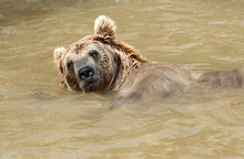 Brown Bear Swimming In A Pond