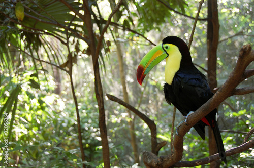 Toucan perched in a tree in the forest.