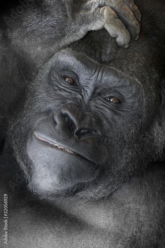 Photo  Gorilla _mg_6086