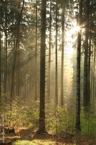 Papiers peints Foret brouillard Rising sun enters the coniferous forest on a foggy spring day