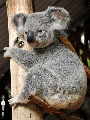 Garden Poster Koala Koala sits on a brunch and hugs a tree trunk