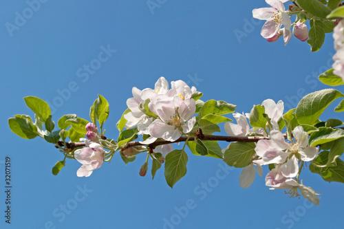 Plakat kwiat jabłoni