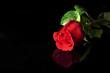 canvas print picture - Rosa Rossa su Sfondo Nero