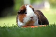 Mehrschweinchen Vor Unscharfen Hintergrund Auf Wiese