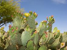 Paddle Cactus In Spring, AZ