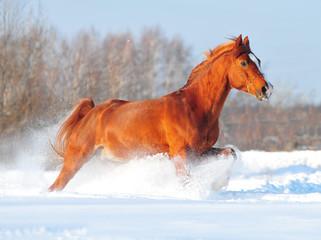 chestnut free arab horse running