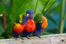 Perroquets Multicolores, Loris...