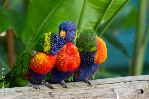 Fotobehang Papegaai Perroquets multicolores, loris de swanson, Guadeloupe