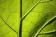 Leinwanddruck Bild - Arctium lappa leaf close-up