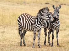 Two Zebras On The Masai Mara In Kenya