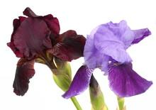 Dark And Light Purple Bearded Iris