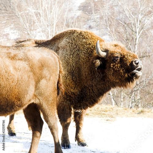 Fényképezés  winter bison