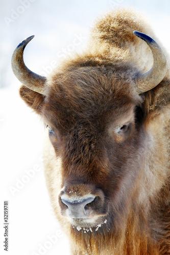 Fényképezés  wild bison