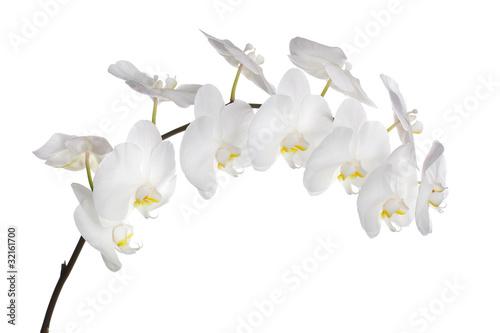 Orchidea bianca Wallpaper Mural