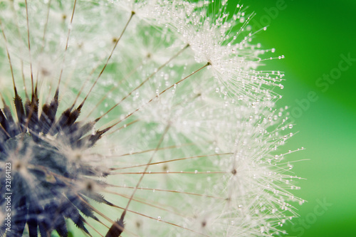 Keuken foto achterwand Paardebloemen en water Close-up of wet dandelion seed with drops
