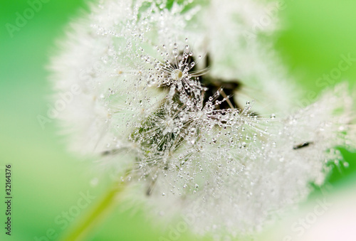 Staande foto Paardebloemen en water Close-up of wet dandelion seed with drops