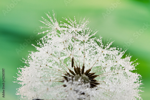 Canvas Prints Dandelions and water Close-up of wet dandelion seed with drops