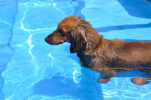 Wet Red Long-Haired Dachshund In A Swimming Pool