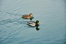 Two Wild Ducks On Water