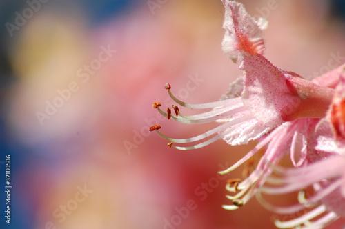 Fiore di ippocastano