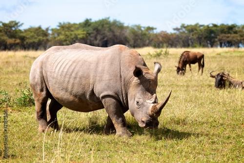 Fényképezés  Rhino Bull