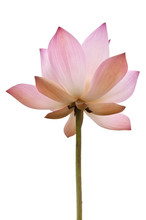 Pink Color Water Lilly Flower