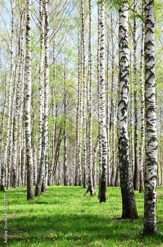 Photo sur Aluminium Bosquet de bouleaux Birch Grove in sunny spring day