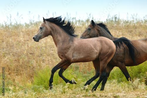Fotografie, Obraz  Running horses