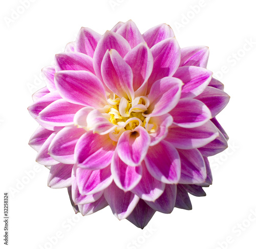 Pink dahlia flower isolated