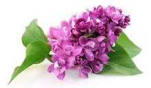 Spring Lilac Flower