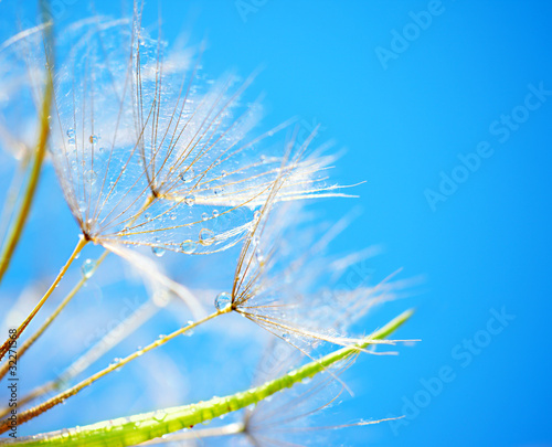Poster Dandelions and water Soft dandelion flowers