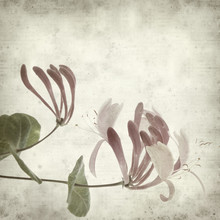 Textured Old Paper Background With Pink Honeysuckle