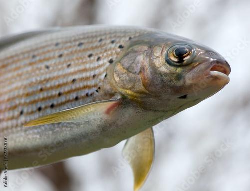 Fotobehang Vissen Arctic grayling or trout