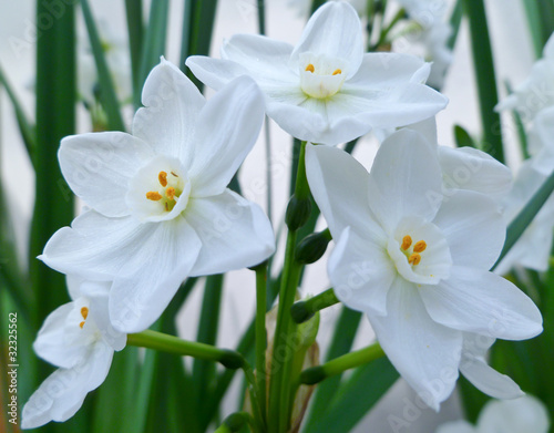 Photo sur Aluminium Narcisse beautiful Paperwhite flowers