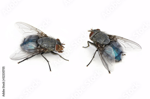 Two Blue Bottle Fly (Calliphora vomitoria) isolated on white)