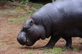Pygmy hippo walking