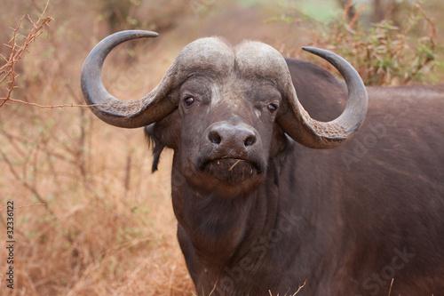 Staande foto Buffel african cape buffalo