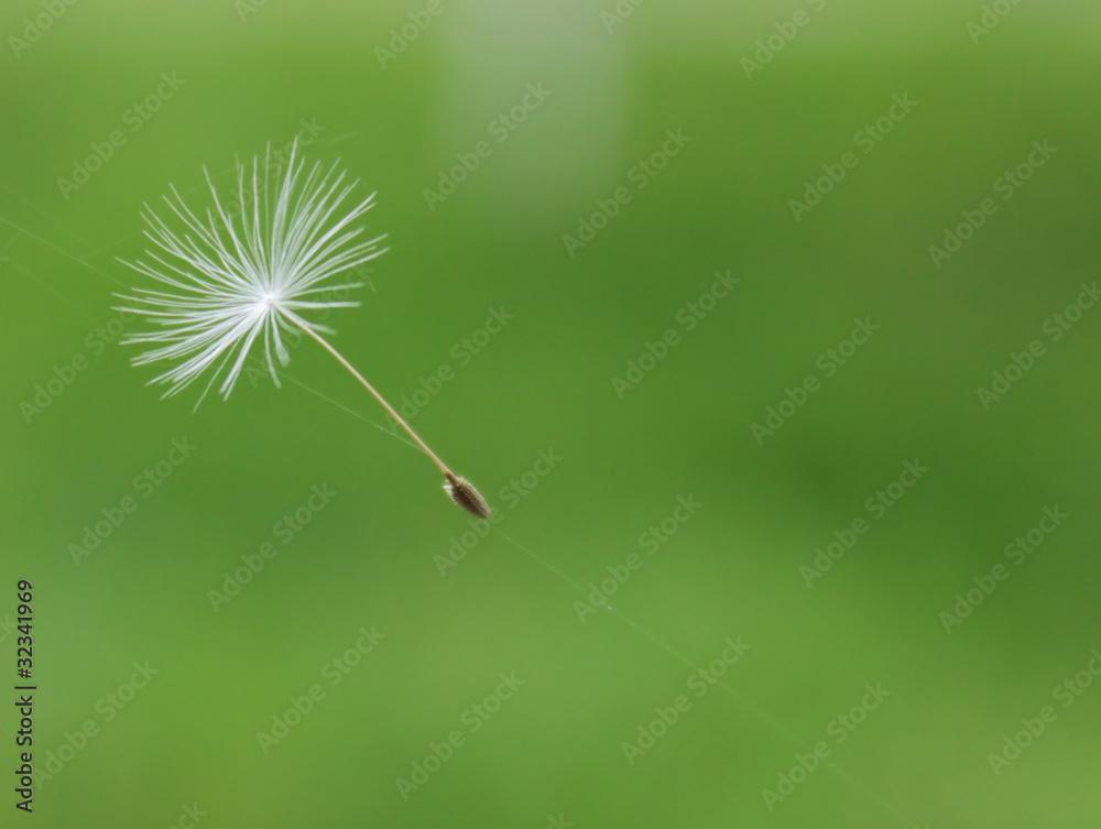 Fototapety, obrazy: dandelion parachute