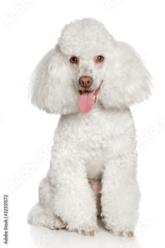 White poodle puppy. Isolated on a white background Poster Mural XXL