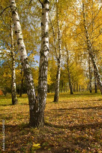 Foto op Plexiglas Berkbosje birch grove in autumn