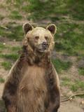 Fototapeta Zwierzęta - niedźwiedź brunatny