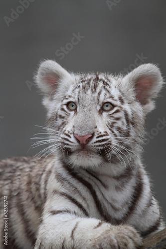 Naklejki na meble   bialy-tygrys-portret