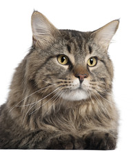 Close-up Of Maine Coon, 2 Years Old,